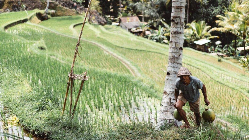 A smallholder farmer in a rice field